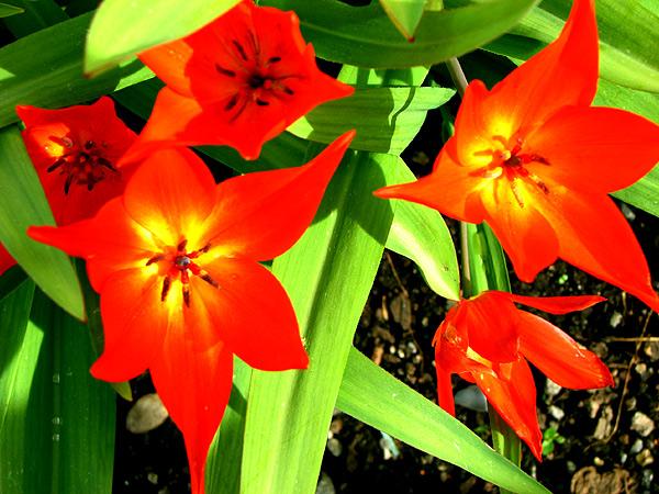 Tulips at Picardo Master Gardener Demo Plot - Photo by Larry Neilson