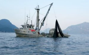 commercial-vessel-seen-fishing-for-pink-salmon-near-Furry-Creek-on-Wednesday-e1440116130802